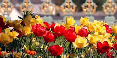 tulips-4825103_1920